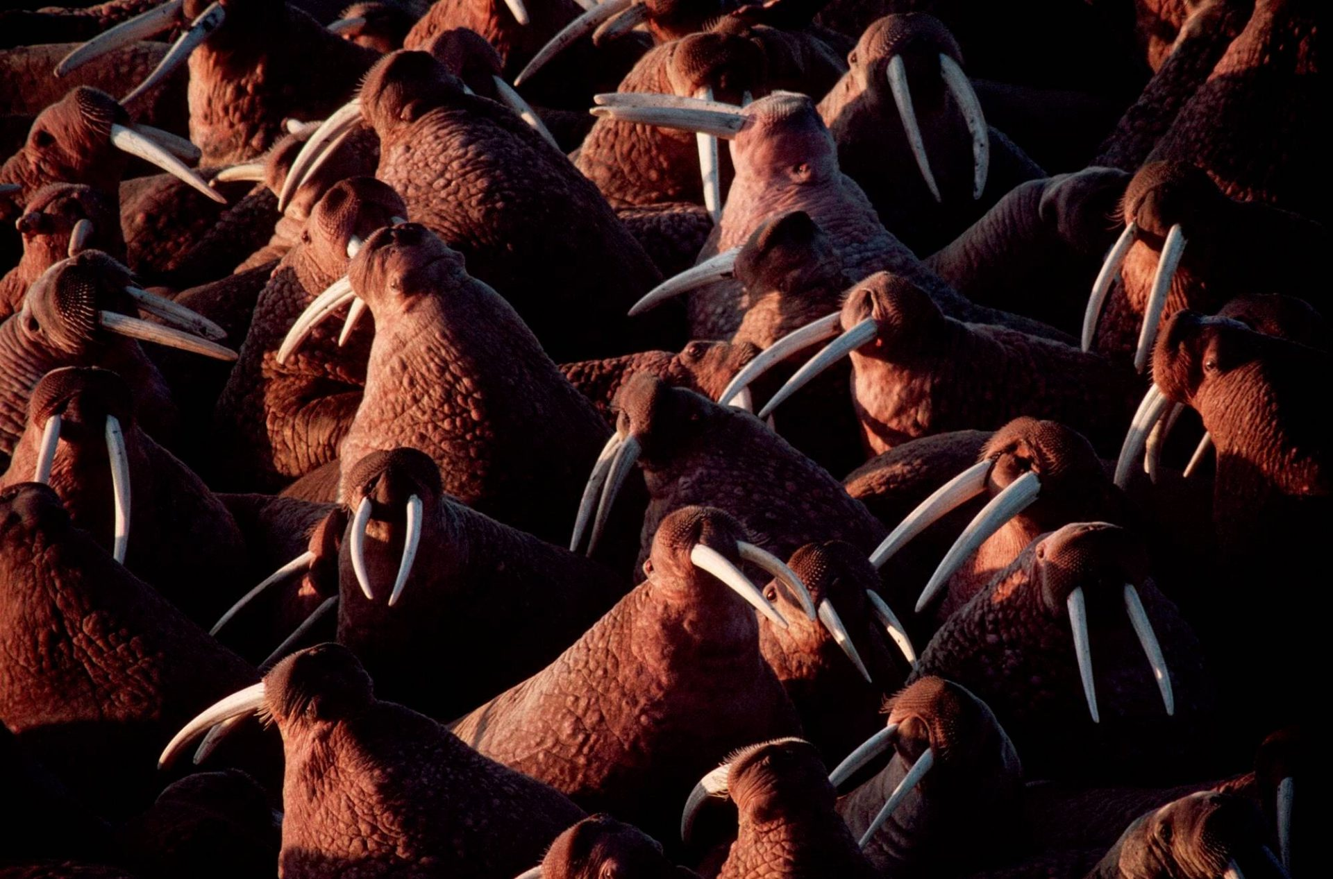 Photo: Thousands of bull walrus sun themselves at Togiak National Wildlife Refuge in Alaska.