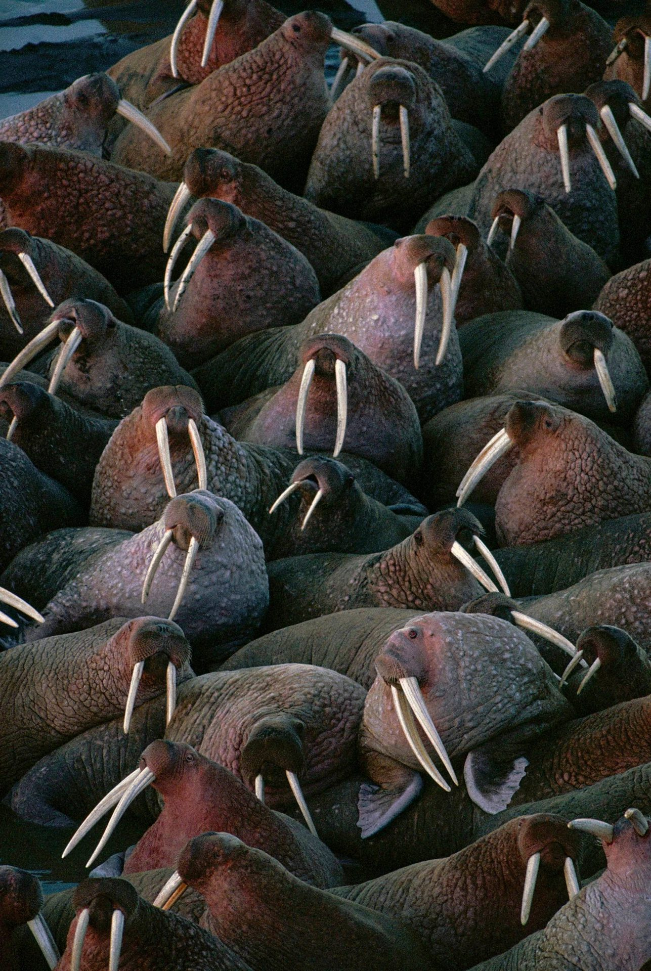 Photo: Male walrus gather by the thousands to sun themselves on the beach at Togiak National Wildlife Refuge, Alaska.