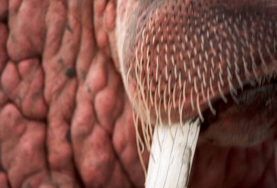 Photo: Close-up of one of thousands of walrus that pack the beach at Togiak NWR each year.