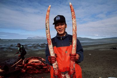 Photo: Native American shows walrus tusks from his latest hunt at Togiak NWR, Alaska.