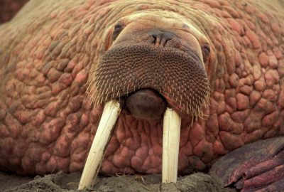 Photo: Close-up of one of thousands of bull walrus crowding the beach at Togiak NWR, Alaska.