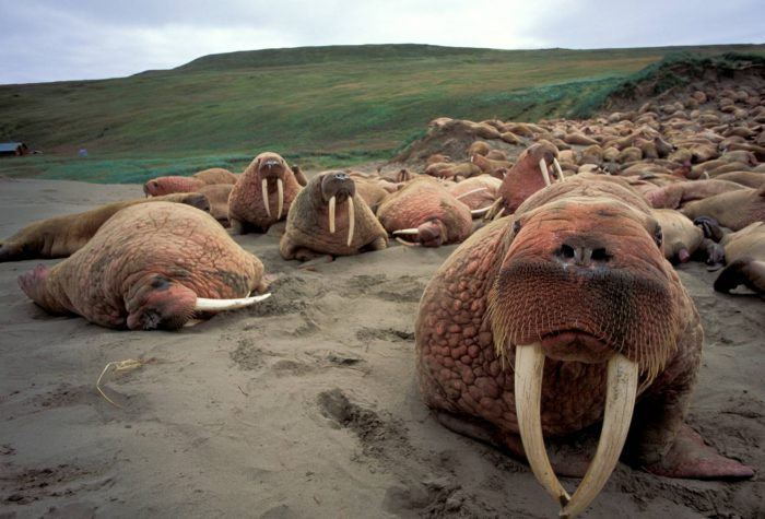 Photo: Thousands of bull walrus crowd the beach at Togiak NWR, Alaska.