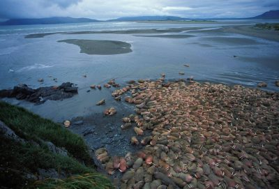 Photo: On Maggey Beach, thousands of bull walrus crowd land at low tide.