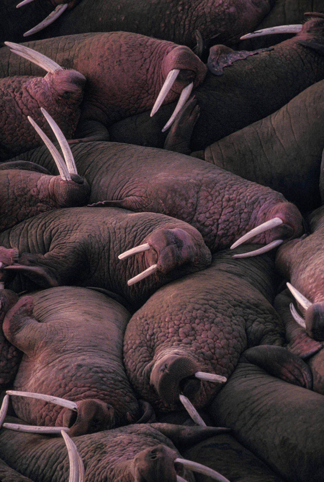 "Photo: Morning at Cape Perice's ""Maggey Beach,"" in Alaska, where some 6,000 bull walruses have come ashore."