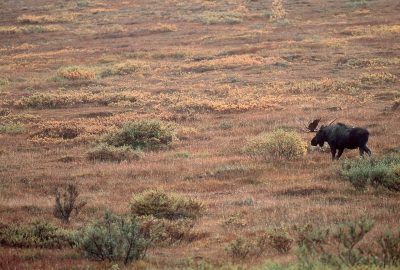 Photo: Moose in Denali National Park in Alaska's interior.