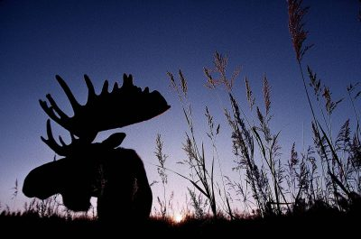 Photo: A hand-raised moose in Alaska's Kenai National Wildlife Refuge.