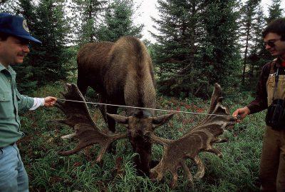 Photo: Biologists measure the antlers of a hand-raised moose in Alaska's Kenai NWR.