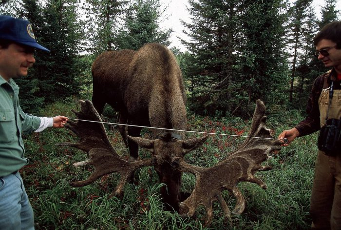 Photo: Biologists measure the antlers of a hand-raised moose in Alaska's Kenai NWR.
