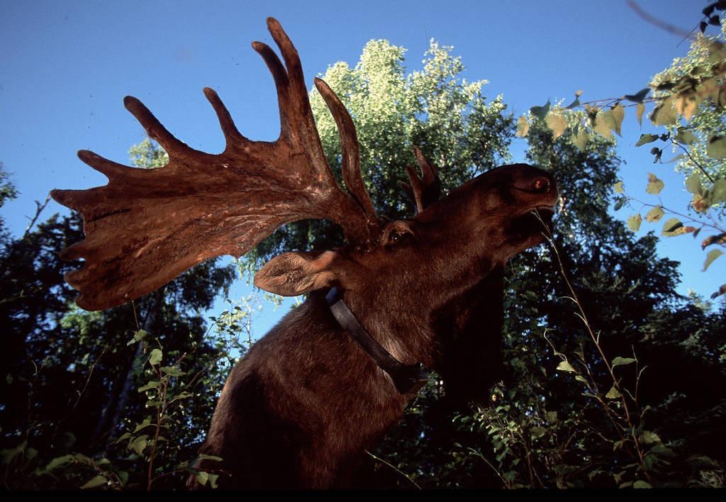Photo: A hand-raised moose in Alaska's Kenai NWR.