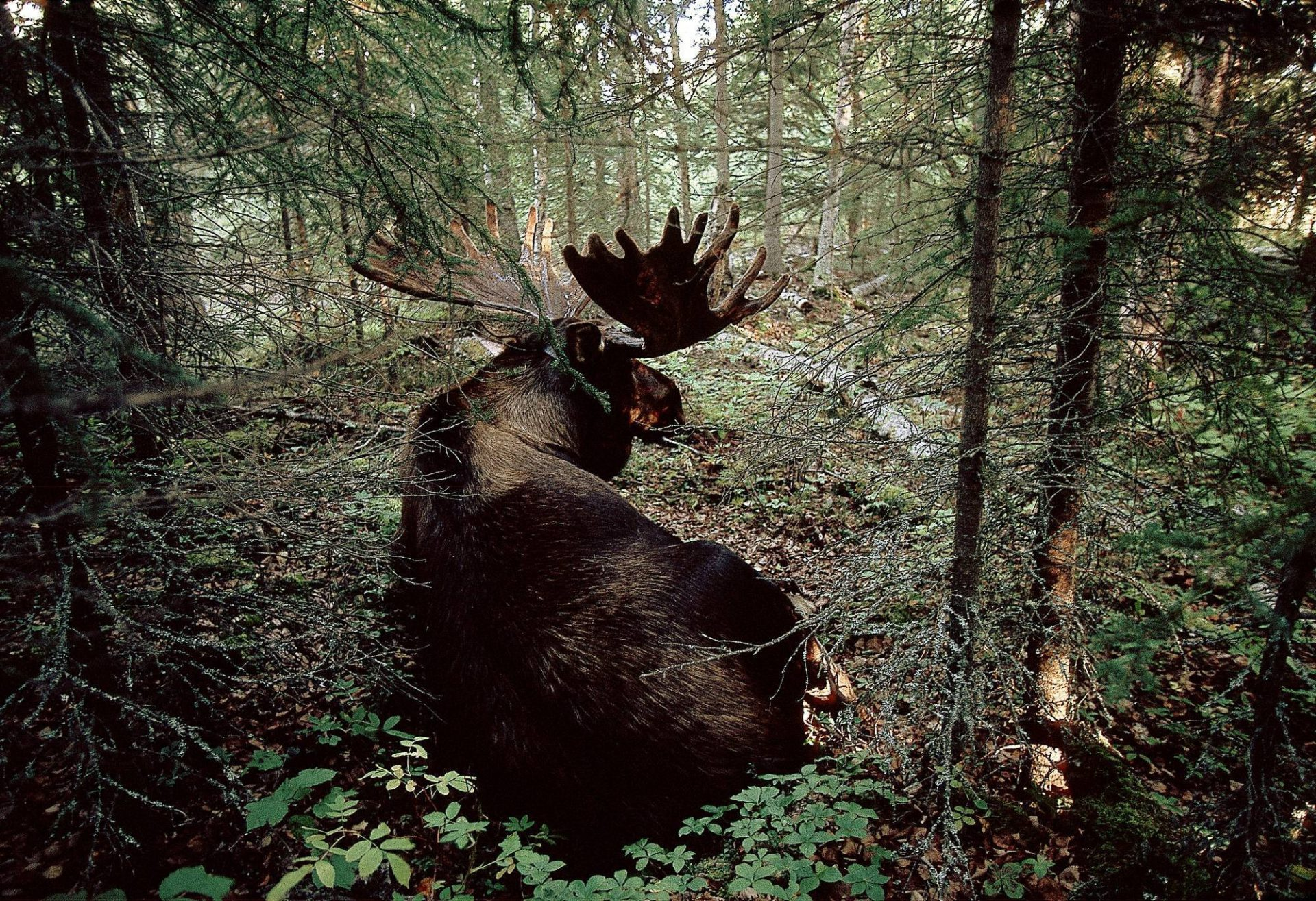 Photo: A hand-raised moose in Alaska's Kenai National Wildlife Refuge.
