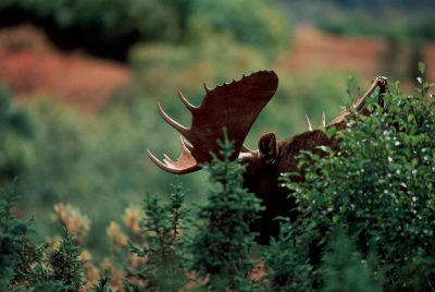 Photo: Moose in Denali National Park in Alaska's interior.