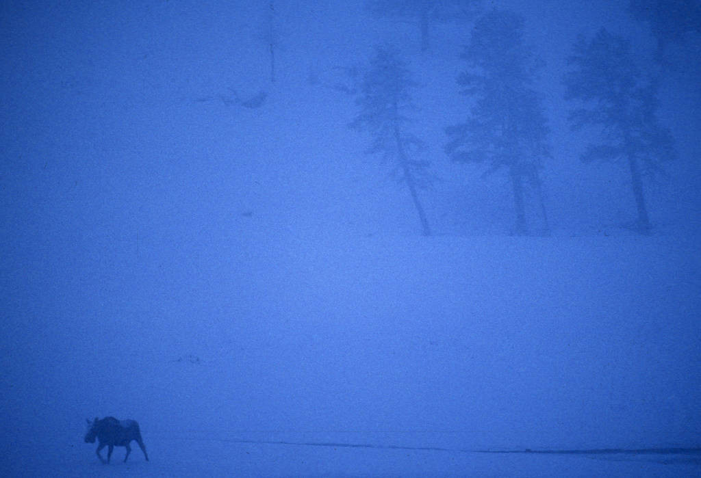 Photo: Moose in Yellowstone National Park's Lamar Valley.