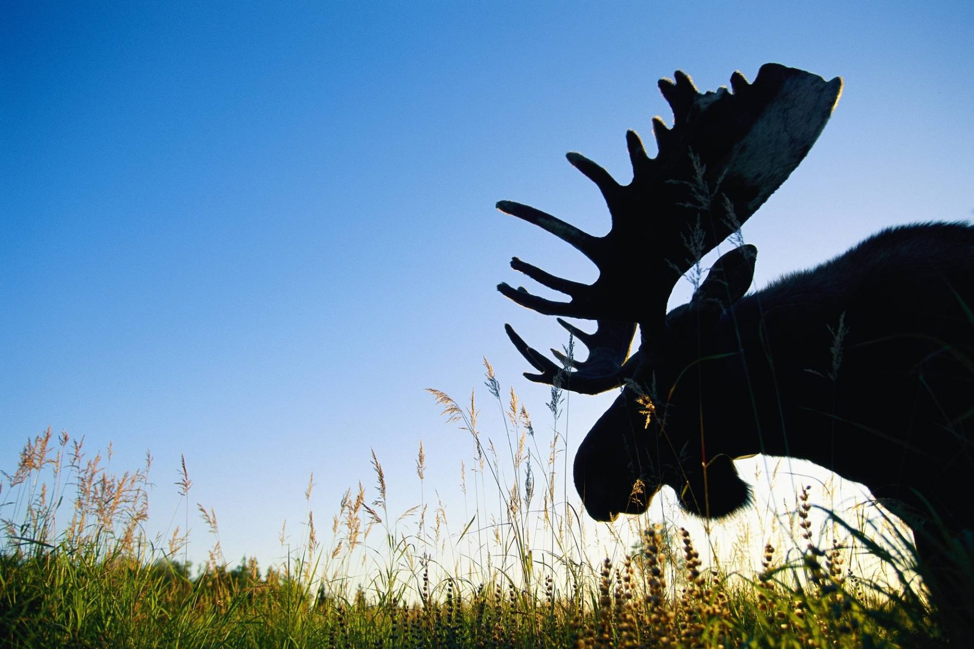 Photo: A moose's head is silhouetted against the landscape.
