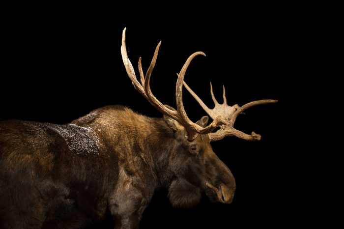 Picture of a Eurasian elk (Alces alces) at the Cheyenne Mountain Zoo.