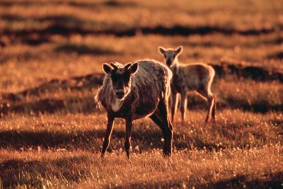 Photo: Mother caribou and calf in Prudhoe bay, Alaska.