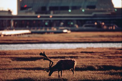 Photo: Caribou in Prudhoe Bay.