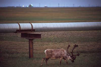 Photo: A caribou grazes next to an oil pipeline in Prudhoe Bay, Alaska.