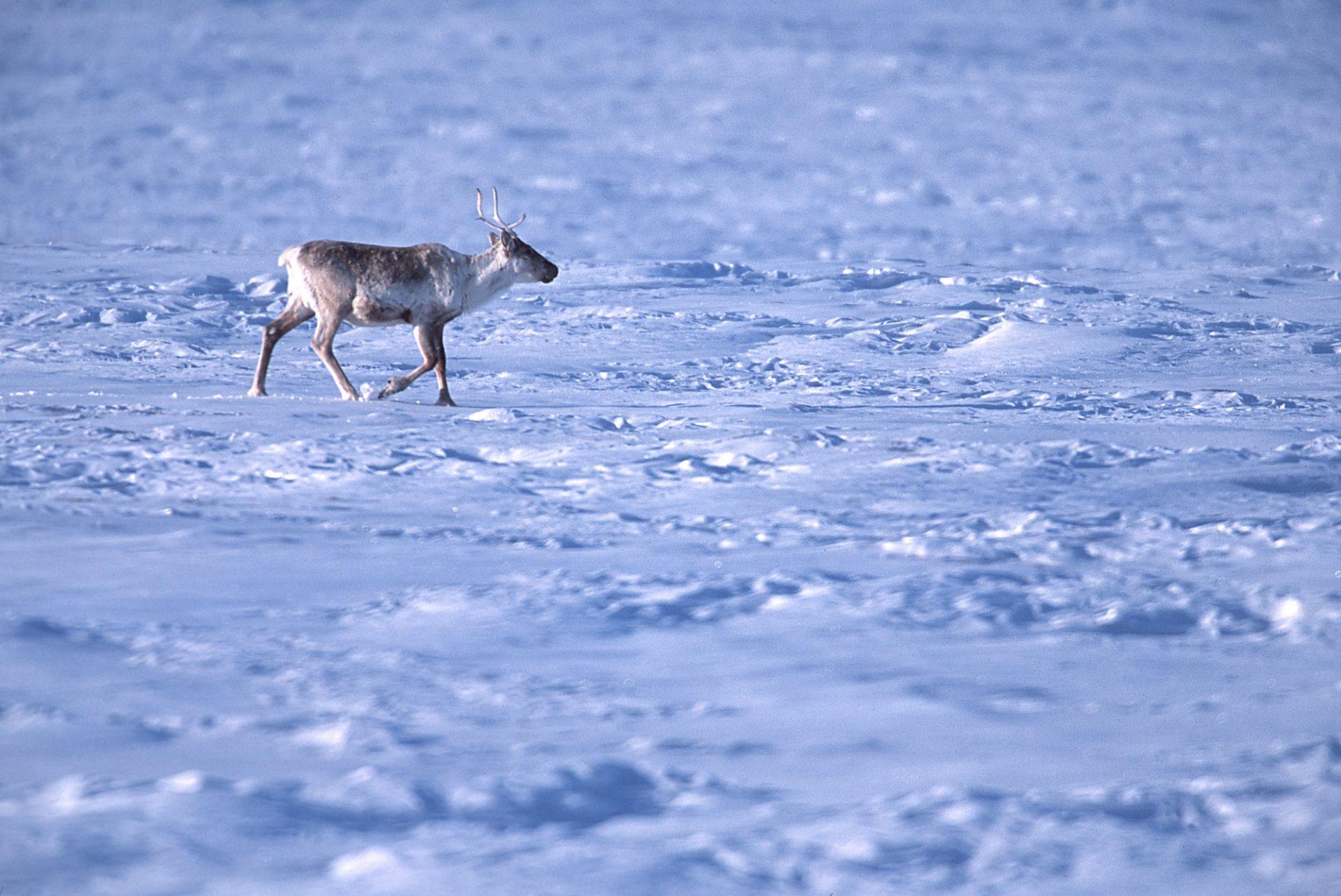 Photo: Caribou graze amid industrial development in Prudhoe Bay, Alaska.