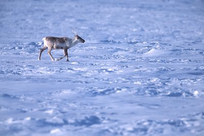 Photo: Caribou graze amid industrial development in Prudhoe Bay, Alaska.