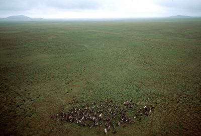 Photo: Domestic reindeer being herded via helicopter on Nunivak Island, part of the Yukon Delta NWR.