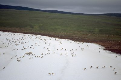 Members of the nearly half million-strong western arctic caribou herd move through their post-calving area near the Slope's west coast. Grasses rich in nutrition are critical for caribou nursing their young. They head back south over the Brooks range as winter approaches.