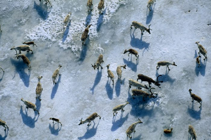 Members of the central arctic caribou herd avoid mosquitoes on a snow bank along the coastal plain near the edge of the Arctic National Wildlife Refuge.