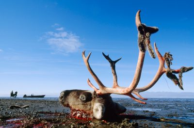 Photo: Shot through the lower back, a wounded caribou drags himself along the beach near Point Lay on far west side of the Slope.