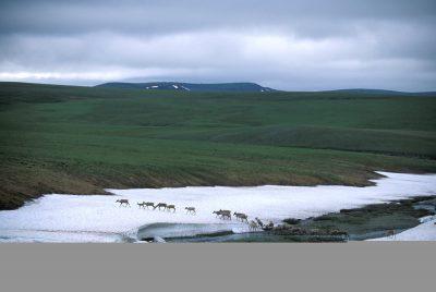 Photo: Caribou on the tundra of Alaska's North Slope.