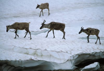 Photo: Caribou in the Utokok Uplands.