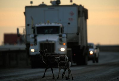 Photo: Caribou warily cross a road in the Kuparek oil field, part of greater Prudhoe Bay. Those in favor point out that remnants of wildlife can still be seen in heavily developed oil fields.