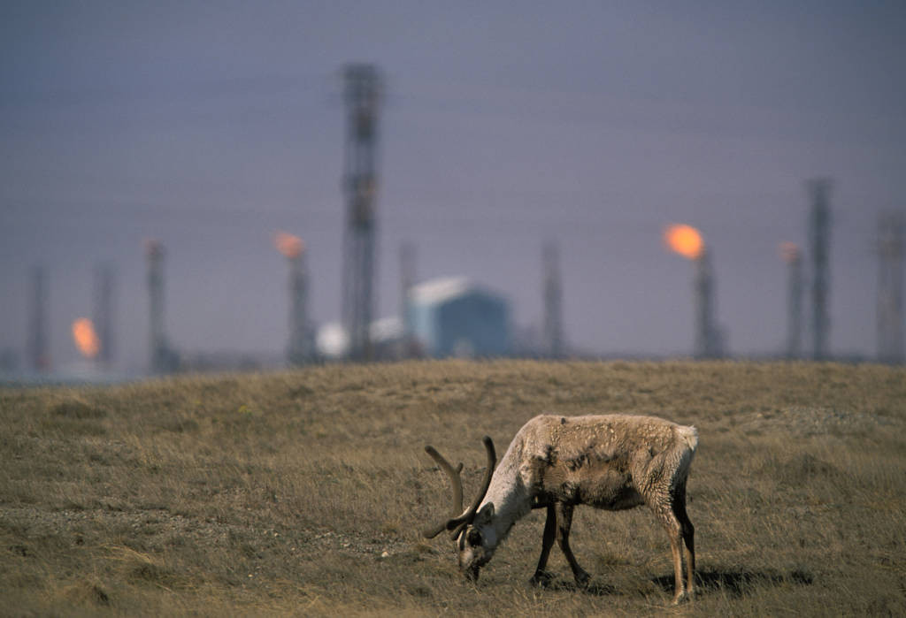 Photo: Central Arctic caribou in an oil field in Prudhoe Bay on Alaska's North Slope.