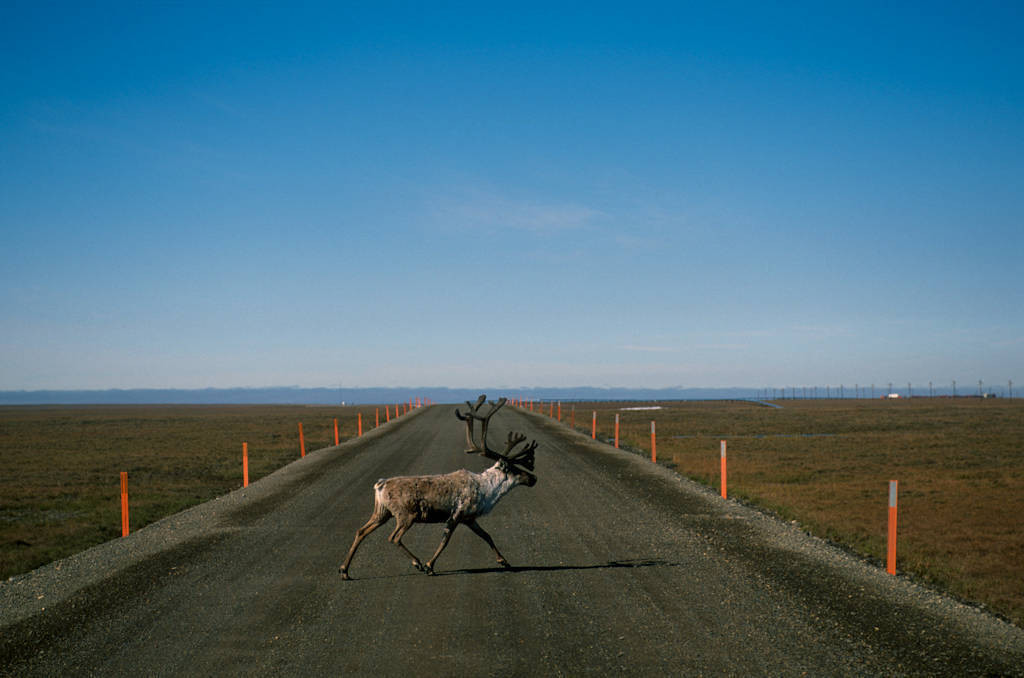 A caribou (Rangifer tarandus) from the Central Arctic herd crosses an industrial road on Alaska's North Slope, near Prudhoe Bay.