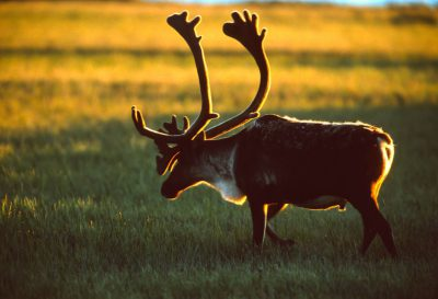 Caribou (Rangifer tarandus) walking at sunset near Prudhoe Bay, Alaska.