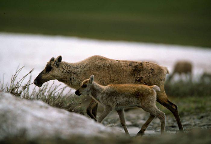 Caribou (Rangifer tarandus) near Barrow, AK.