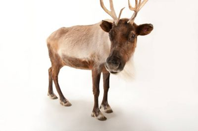 A reindeer (Rangifer tarandus) at the Miller Park Zoo in Bloomington, Illinois.