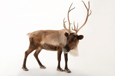A reindeer (Rangifer tarandus) at the Miller Park Zoo.