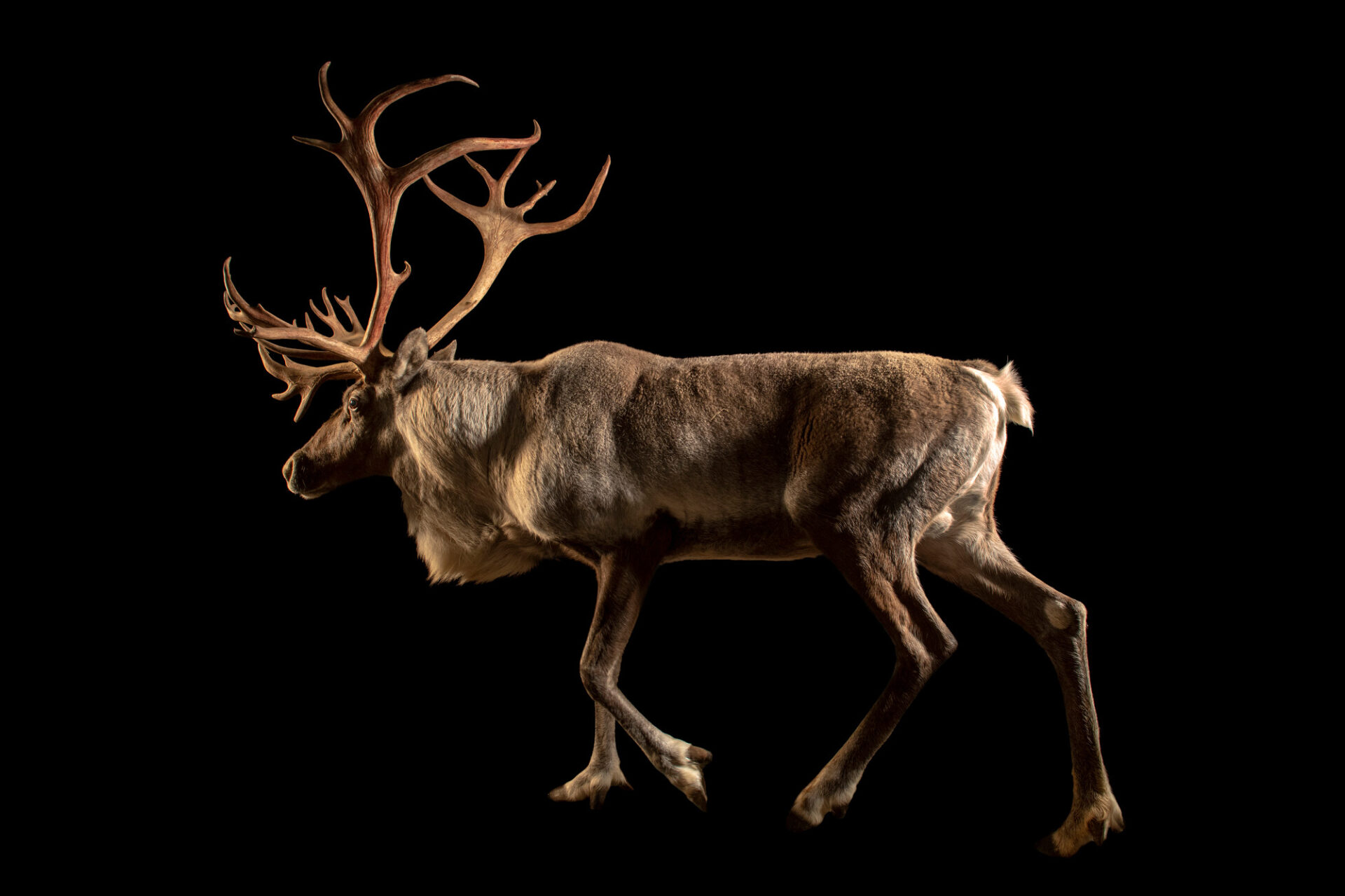 Photo: A Finnish forest reindeer (Rangifer tarandus fennicus) at Berlin Zoo in Berlin, Germany.