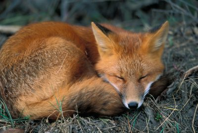 A red fox (Vulpes vulpes) in Denali National Park in Alaska's interior.
