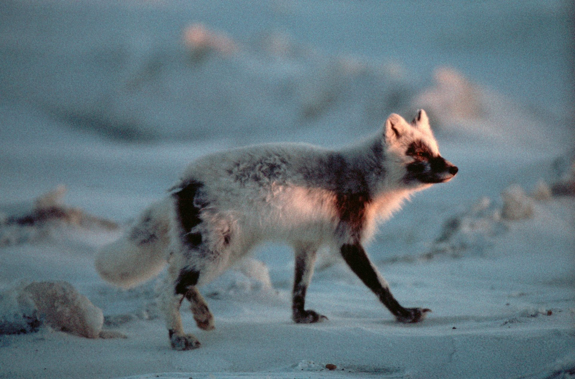 Photo: An Arctic fox (Alopex lagopus) in Prudhoe Bay, Alaska.