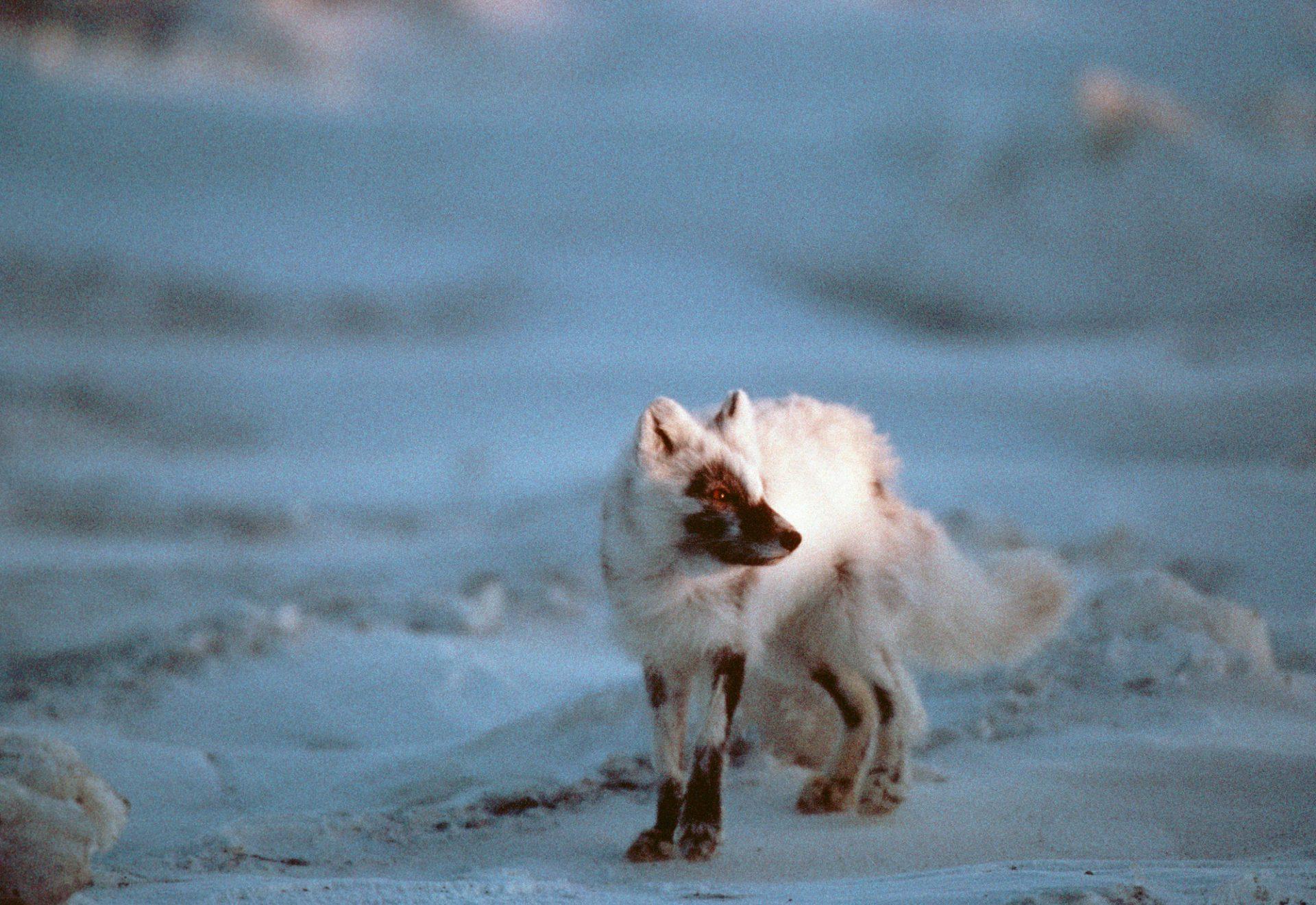 Photo: An Arctic fox (Alopex lagopus) in Prudhoe Bay, Alaska.