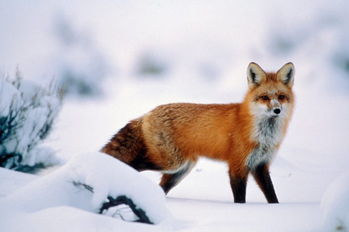 A red fox (Vulpes vulpes) in Yellowstone's Lamar Valley.