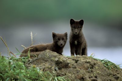 Photo: Two Arctic foxes (Alopex lagopus) on St. Paul Island in the Pribilofs, Alaska.