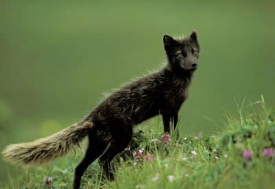 Photo: An Arctic fox (Alopex lagopus) on St. George Island in the Pribilofs, Alaska.