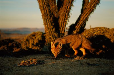 Photo: A gray fox hunts at dusk in the Atacama Desert in Chile.