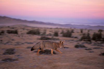 Photo: Gray fox in the Atacama Desert in Chile.