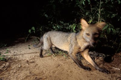 Picture of a crab-eating fox (Cerdocyon thous) in Brazil's Pantanal.