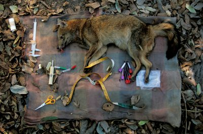 Photo: A crab-eating fox becomes part of an experiment in Brazil's Pantanal to see if domestic animals are infecting wild ones.