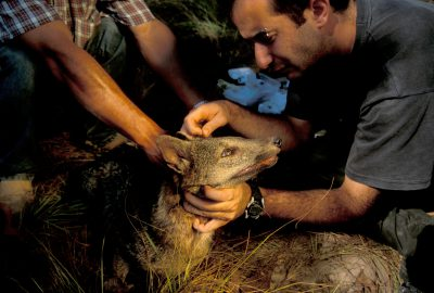 Photo: Biologists study a crab-eating fox at the SESC Reserve in Brazil's Pantanal region.