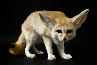 A fennec fox (Vulpes zerda) at the Denver Zoo, Denver, Colorado.