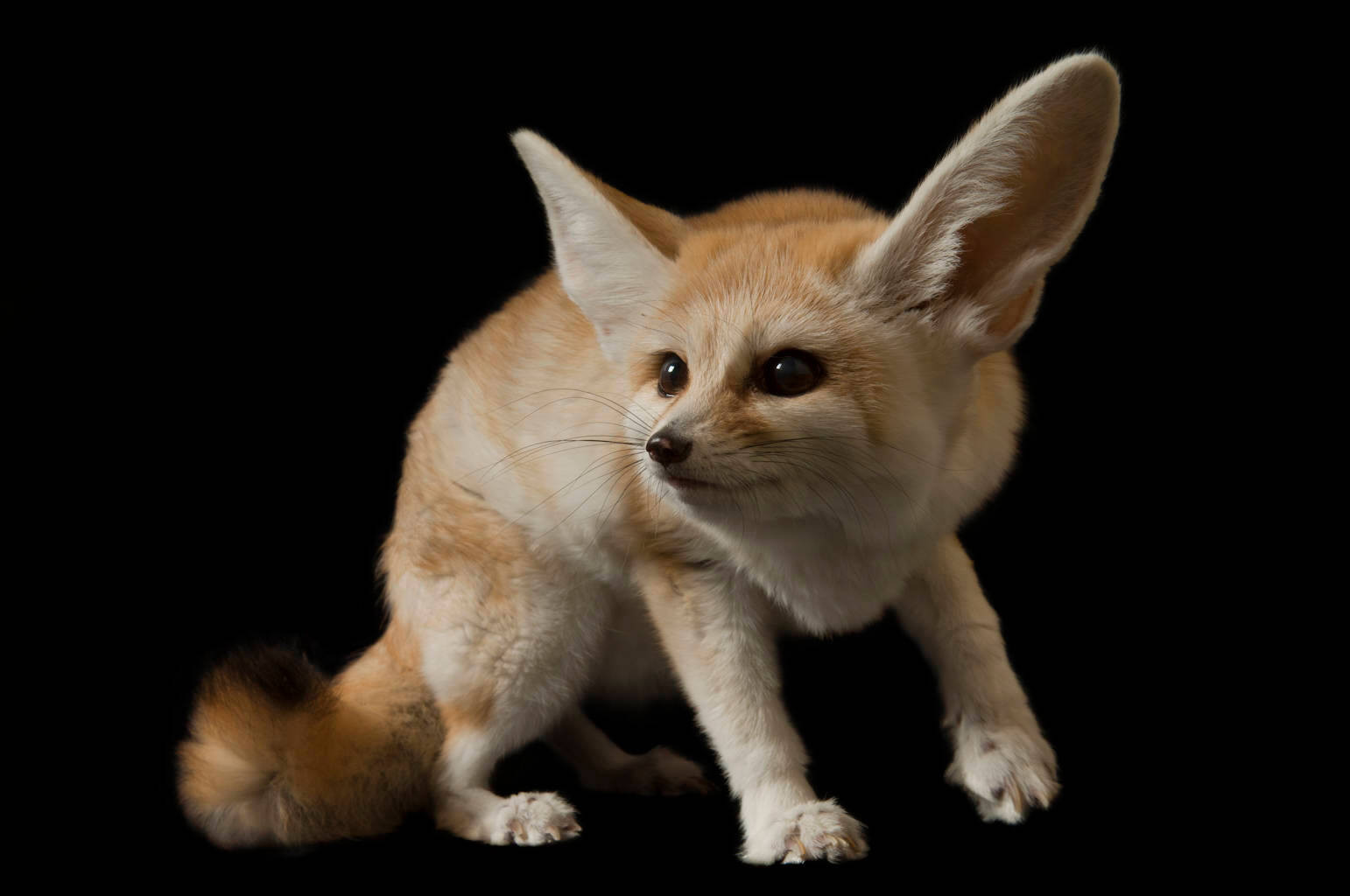 A fennec fox (Vulpes zerda) at the Denver Zoo, Denver, Colorado.